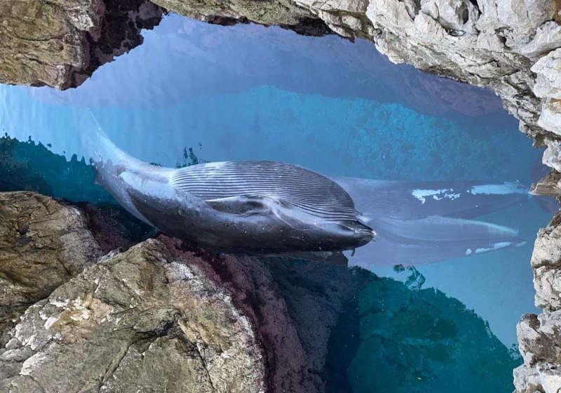 balena_capri