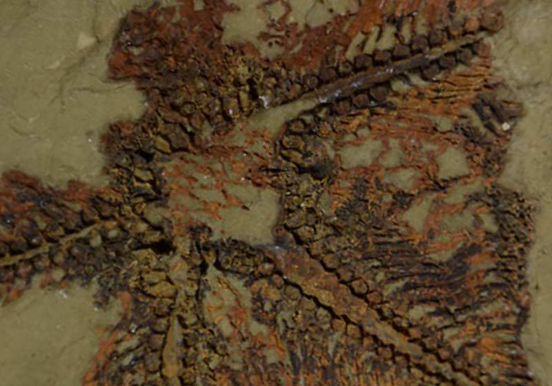 La stella marina più antica del mondo popola i fondali del Marocco: gli echinodermi fanno storia